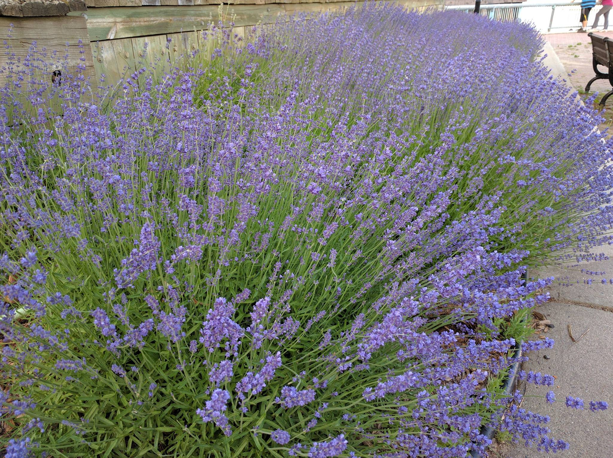 Lavender at the Ferry Slip
