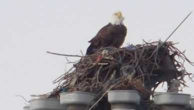 Eagle spotted on Raritan Bay