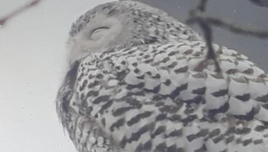 Snowy Owl Spotted in Perth Amboy