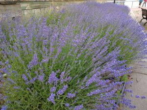 Lavender at Perth Amboy Ferry Slip