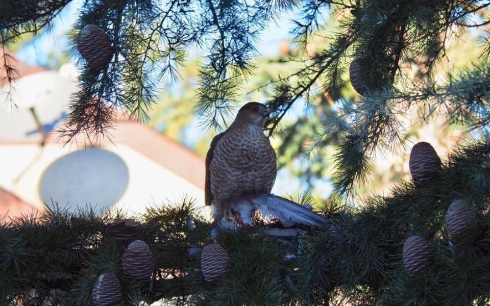 Hawk in Perth Amboy