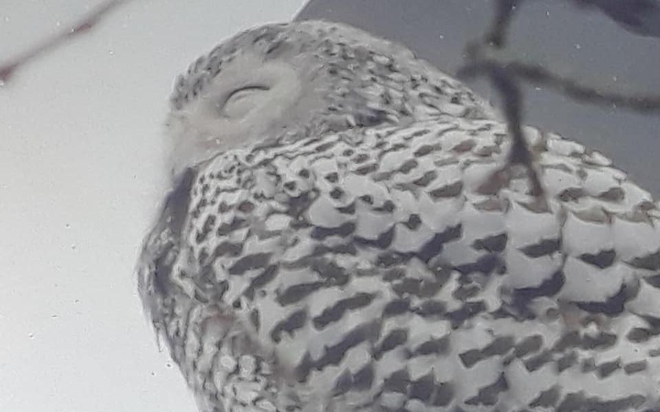 Snowy Owl Perth Amboy NJ